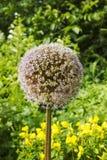 Dissolvenze del gigante della cipolla del fiore Testa del seme dell'allium Ombrelle fruttifere della cipolla di giganteum gigante Fotografie Stock Libere da Diritti