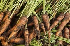 Dissotterrato dalle carote a terra Fotografia Stock