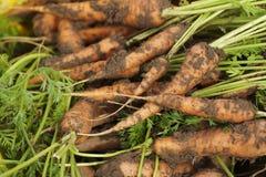 Dissotterrato dalle carote a terra Immagine Stock