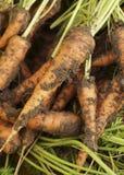 Dissotterrato dalle carote a terra Fotografie Stock