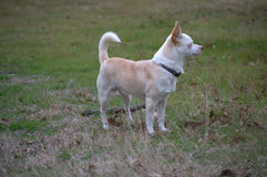 In the Distance. A blonde small male dog/Chihuahua stands erect gazing in to the distance royalty free stock images