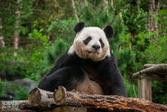 Distance de Panda Bear Staring Off Into images libres de droits