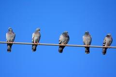 Distance privée de pigeons image stock