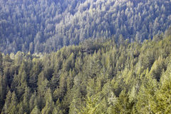 Distant conifers. Looking down from a mountain top on a ridge of trees Royalty Free Stock Image