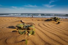 Distant figure on the beach with coastal vegetation. At Cola Beach, Sedgefield, Western Cape, South Africa Stock Photography