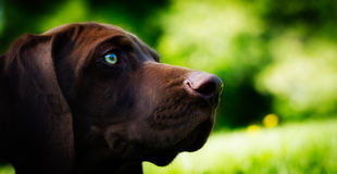 Distant Gaze. A young pup gazes into the  distance Stock Image