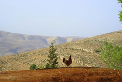 Distant horizons. Jordan, mountain Nebo, lonely chicken wanders across the desert, observing the sky Stock Image