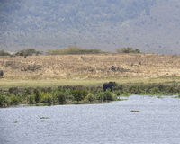 Distant Single Bull Elephant standing in edge lake. Tarangire National Park, Tanzania Nikon D5 royalty free stock images