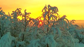 Distant sun in a pink sky shining through snow-covered tree branches. stock video footage