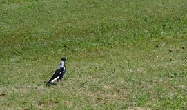 Magpie bird on green grass stock photography