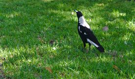 Magpie bird on green grass royalty free stock images