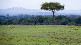 Distant view of one Thompson Gazelle grazing in green grass in a beautiful landscape with one tree Stock Photo