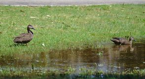 Distant view of two ducks on sunny day royalty free stock images