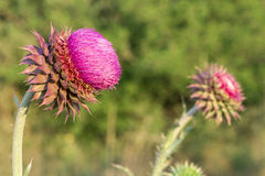 Distel 05 stockbilder