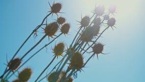 Distel auf einem Hintergrund des blauen Himmels und des Sonnenscheins stock video