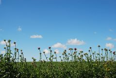 Distel auf grünem Feld über blauem Himmel Lizenzfreie Stockfotos