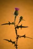 Distel-Blume Stockbild