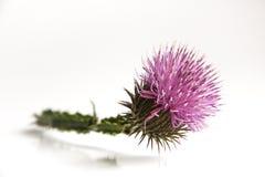 Distel-Blume Lizenzfreies Stockbild