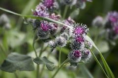 Distel-Blume Lizenzfreies Stockfoto