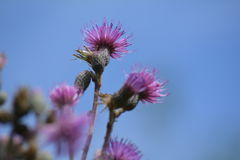 Distel Carduus acanthoides Lizenzfreie Stockfotografie