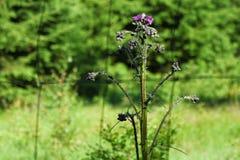 Distel - Carduus acanthoides - wilde Natur stockfotografie