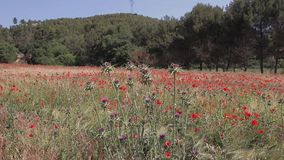 Distel die in de wind met rode papavers op een tarwegebied slingeren op achtergrond De Provence, Frankrijk stock videobeelden