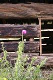 Distel, die durch altes Blockhaus wächst Stockfotografie