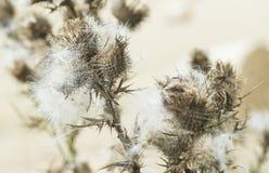 Distel die zaden aan het eind van de zomer vrijgeven royalty-vrije stock foto's