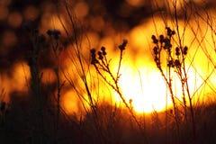 Distel gegen Sonnenuntergang Stockbild