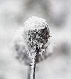Distel im Winter Stockfoto