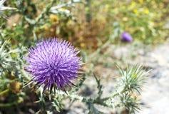 Distel mit purpurroter Blume Lizenzfreie Stockfotos