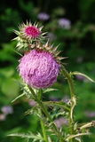 Distel morgens Stockbild