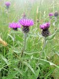 Distel, Schottland Stockbild