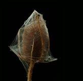 Distel in spinneweb Stock Foto