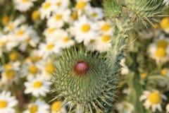 Distel zwischen Farbwiesenblumen Stockfoto