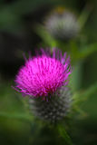 Distelblume und Emblem von Schottland Stockbild