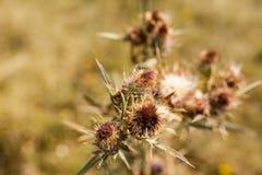 Distelbusch in einem Herbst Stockfotografie
