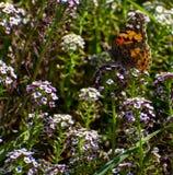 Distelfalter Butterfly auf weißen Blumen stockfotografie