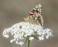 Distelfalter Butterfly mit Marienkäfer Stockfotografie