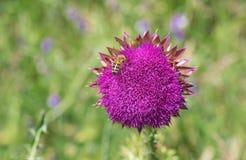 Disteln Cirsium, der den Bienengast erfasst Nektar beim Anfang der Blütezeit hat lizenzfreie stockbilder
