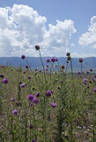 Disteln gegen die Uinta Berge, Utah lizenzfreie stockfotos