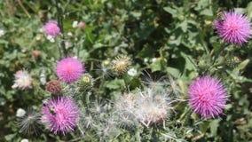 Disteln und Bienen stock footage