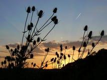 Distels bij zonsondergang Stock Fotografie