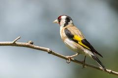 Distelvink, carduelis Carduelis Een zangvogel royalty-vrije stock afbeeldingen