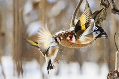 Distelvinkenstrijd in de winter voor zonnebloem royalty-vrije stock fotografie