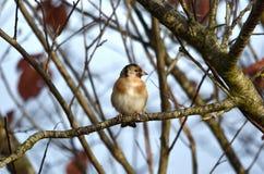 Distelvinkvogel royalty-vrije stock foto's