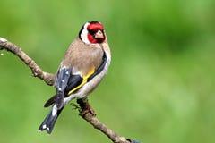 Distelvinkvogel op tak met groene achtergrond wordt neergestreken die Royalty-vrije Stock Afbeeldingen