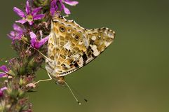 Distelvlinder, Painted Lady, Vanessa cardui stock image