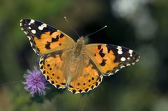 Distelvlinder, Painted Lady, Vanessa cardui stock photography