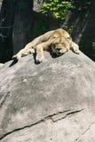 Distensione del leone Immagini Stock Libere da Diritti